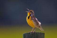 Warbler, Yellow Warbler, South Dakota