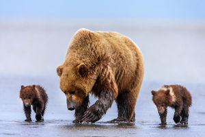 Grizzly Bears with Cubs