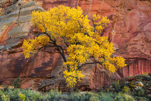 Utah, Capitol Reef, National Park, Cottonwood, Tree, Red Rock, Fall, Color, limited edition, photograph, fine art, landscape