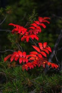 Wyoming, Grand Teton, National Park, Fall, Leaves