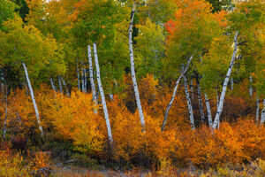 Wyoming, Grand Teton, National Park, Aspen, Trees