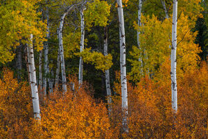 Wyoming, Grand Teton, National Park, Fall Color, Aspen, Tree