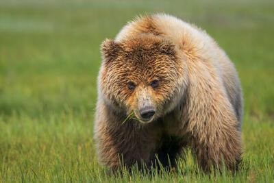 Grizzly Bear Photos | Brown Bears | Alaska Bears