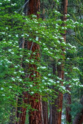 Morning Dogwoods