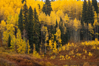 Colorado, Fall, Color, Crested Butte, Ridgway, Telluride, Aspen, Tree, limited edition, photograph, southwest colorado, fine art, landscape, fall color