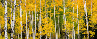 Colorado, Fall, Aspen, Trees, limited edition, photograph, southwest colorado, fine art, landscape, fall color