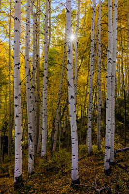 Colorado, Crested Butte, Aspen, Trees, Fall, Color, limited edition, photograph, southwest colorado, fine art, landscape, fall color