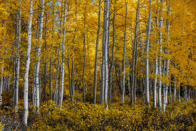 Colorado, Aspen, Trees, Fall, Color, Crested Butte, limited edition, photograph, southwest colorado, fine art, landscape, fall color