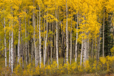 Colorado, Aspen, Trees, Fall, Color, limited edition, photograph, southwest colorado, fine art, landscape, fall color