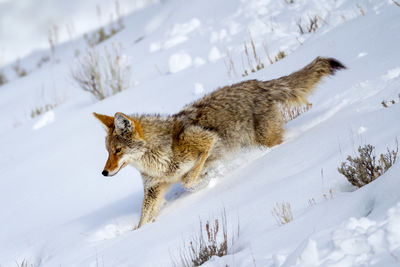Coyote and Wolf Photos | Yellowstone Wolves | Wild Coyotes