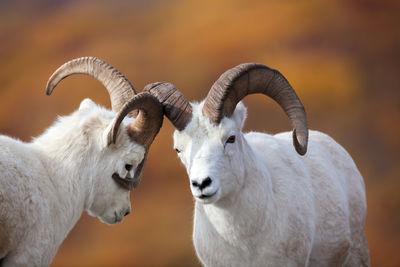 Dall Sheep Photos | Fine Art Prints | Dall Sheep Alaska