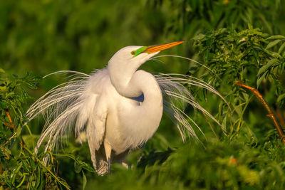 Egrets | Reddish Egret |  Snowy Egret | Cattle Egret