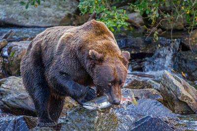 Grizzly Bears Fishing | Bears Eating Salmon | Bears In Alaska