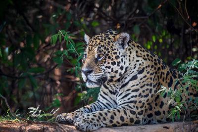 Jaguar Photos | Wild Jaguars | Pantanal Brazil