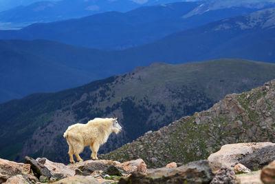 Mountain Goats | Mountain Goats Climbing | Mount Evans