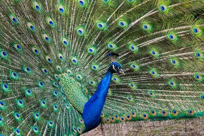 Miscellaneous Birds | Peacock | Toucan | Kingfisher