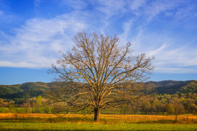 Cove Tree
