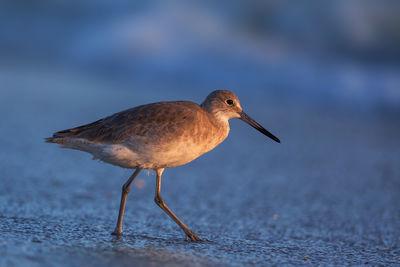 Shore Bird Photos | Gull | Willet | Sandpiper | Royal Tern
