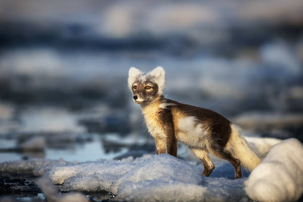 Fox On A Berg