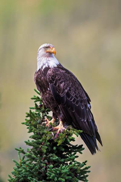 An Eagle's Perch