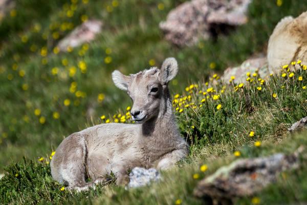 Flower Lamb