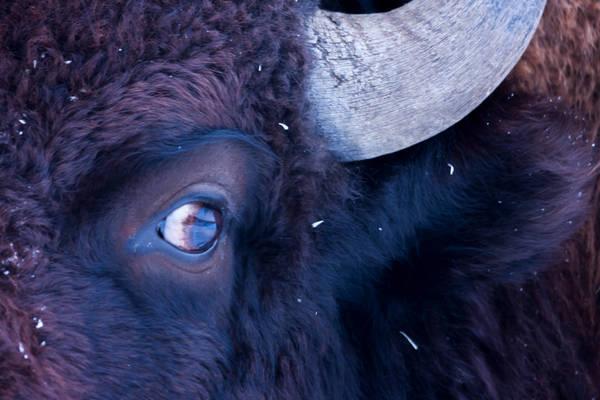 Bison's Eye