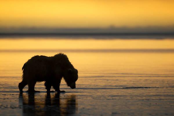 Pre-Dawn Bear
