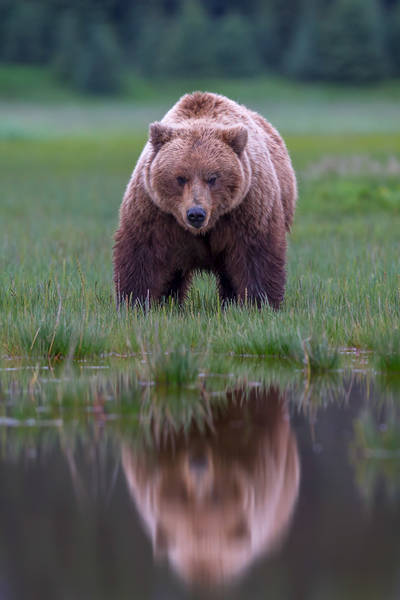 Reflected Bear