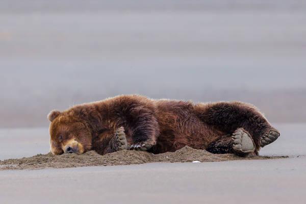 Sleeping Beach Bear