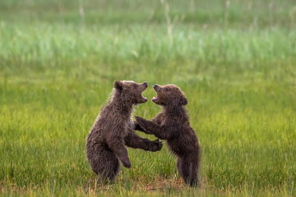 Cub Conflict