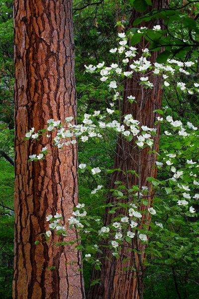 Double Tree Dogwoods