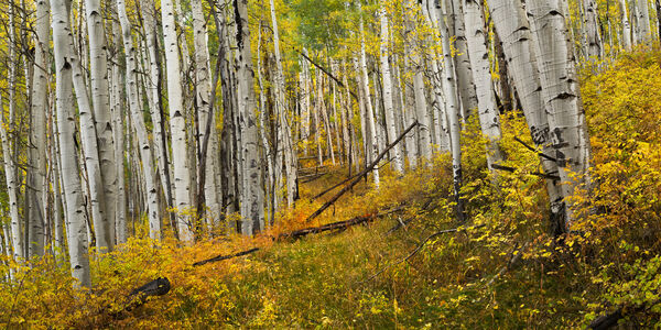 Colorado, Telluride, Fall, Color, Road, Aspen, limited edition, photograph, southwest colorado, fine art, landscape, fall color