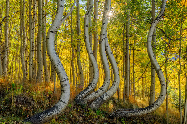Colorado, fall, color, aspen, curved, limited edition, photograph, southwest colorao, fine art, landscape, fall color