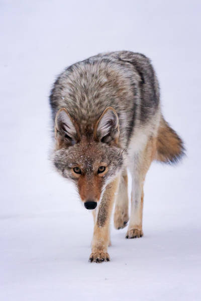 Coyote Prowl