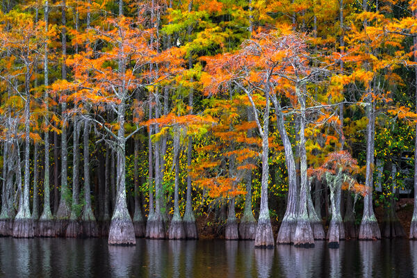 Georgia, Cypress, Tree, Swamp, Fall Color, Landscape, Photo, Fine Art, Fine Art Print, Metal Print, Acrylic Print, Wall Art
