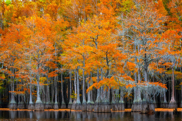 Georgia, Cypress, Tree, Swamp, Fall Color, Landscape, Photograph, Fine Art, Fine Art Print, Metal Print, Acrylic Print, Wall Art
