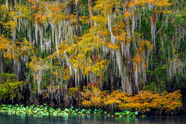 Florida, Fall Color, Manatee Springs, Cypress, Trees,