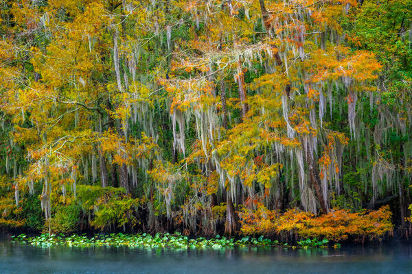 Florida, swamp, cypress, tree, fall color