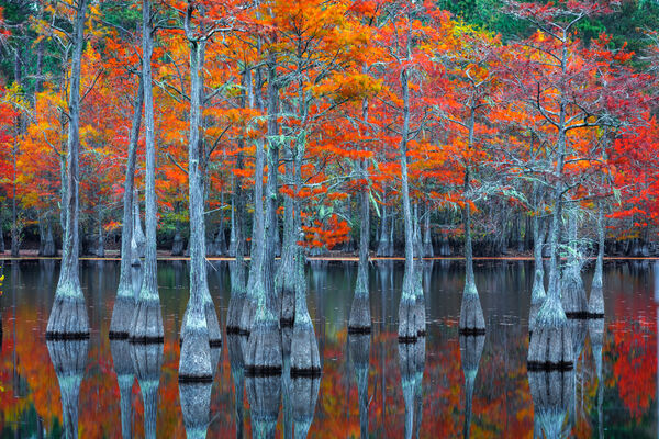 Georgia, Swamp, cypress, tree, fall color, limited edition, photograph, fine art, landscape, Wall Art