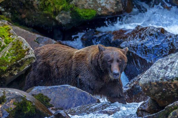 Bear In The Rocks