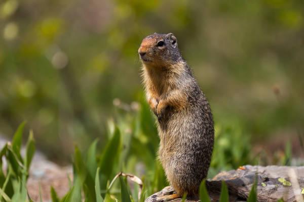 Great Ground Squirrel
