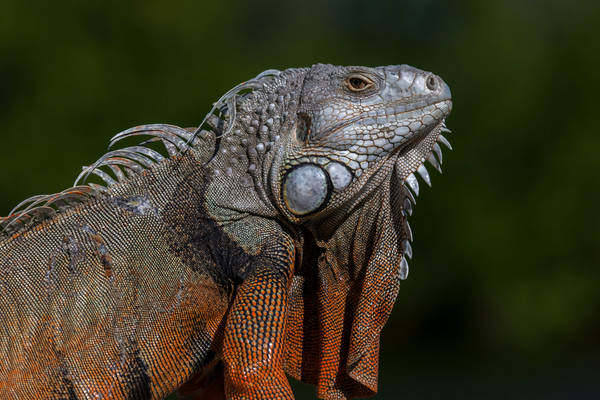 Bold Iguana