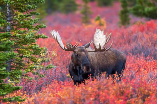 Big Bad Moose