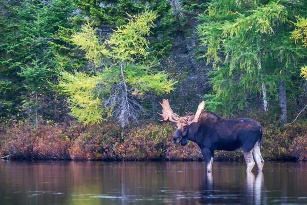 Moose In Calm Waters