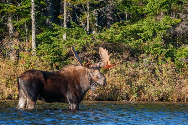 Good Looking Moose