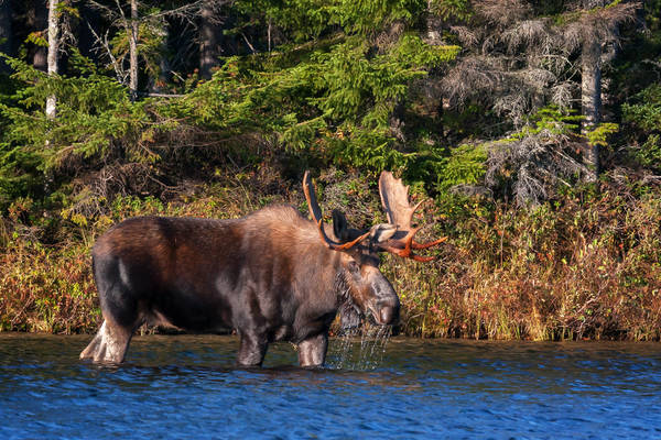 Maine Moose Morning