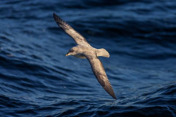 Fulmar Flight