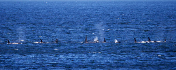 Orcas All Over