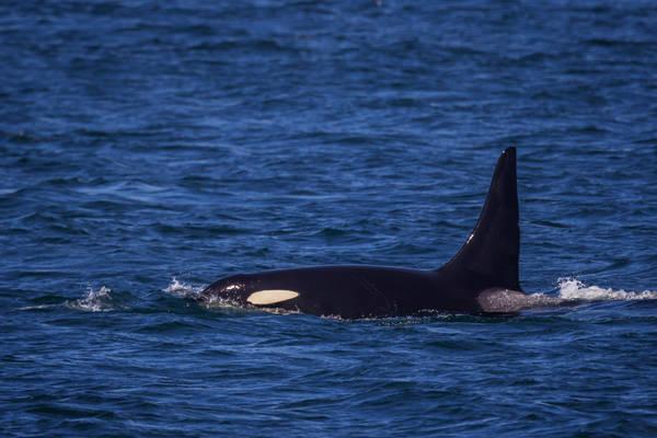 Orca Cruising