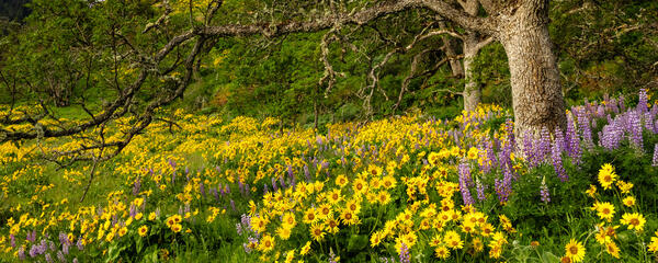 Oregon, Rowena Crest, Columbia Gorge, flower, limited edition, photograph, fine art, landscape, spring, flowers